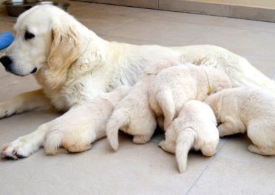 Ninhada Golden Retriever